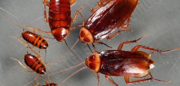 صور طرد الصراصير من المنزل , وصفات للتخلص من حشرات الصراصير المزعجة