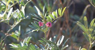 صور نبات بحرف ظ , عشبة مفيدة ومعالجة لامراض كثيرة تبدا بحرف الظاء