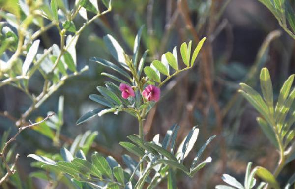 صورة نبات بحرف ظ , عشبة مفيدة ومعالجة لامراض كثيرة تبدا بحرف الظاء