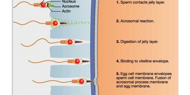 صور كيف يحدث الحمل بالصور , ماذا يحدث بين الزوجين ليتم الحمل