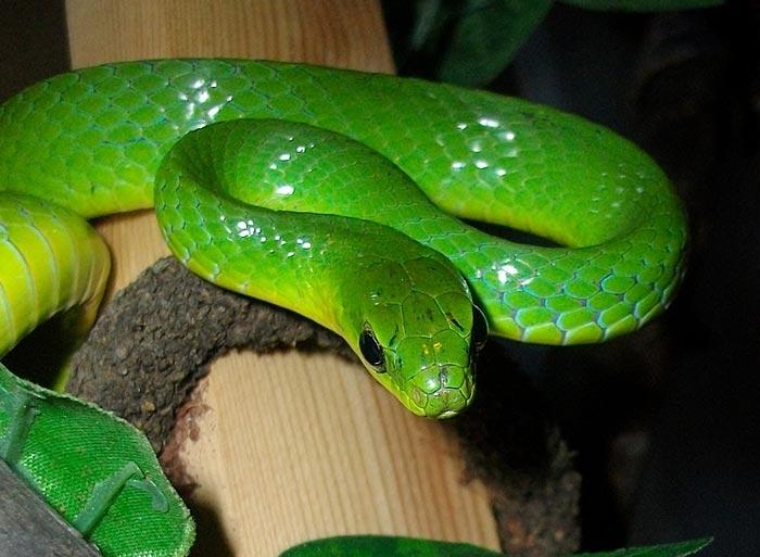 صورة تفسير حلم الثعبان الاخضر , لقد خفت كثيرا عندما حلمت بثعبان اخضر في منزلى