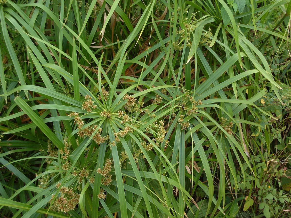 صورة نبات السعد لازالة الشعر مع زيت الزيتون , تخلصي من وجع السويت