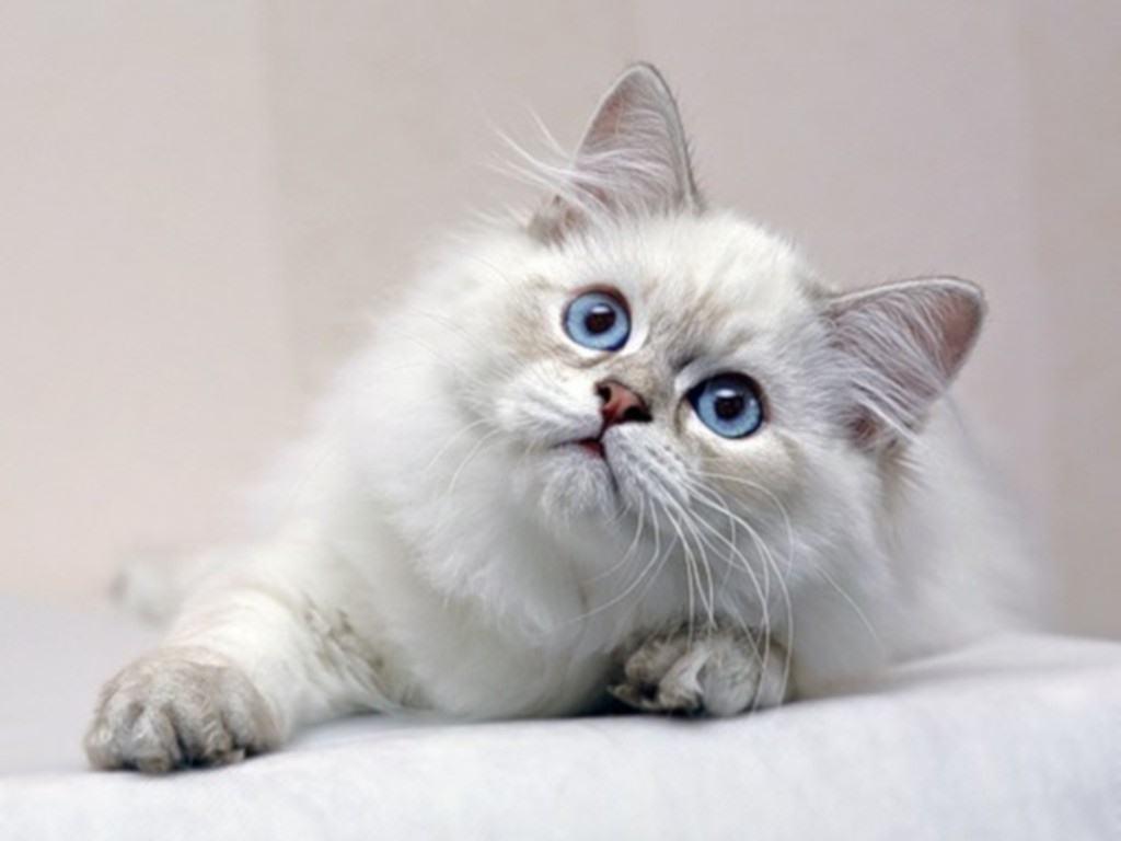صور القطة البيضاء في المنام , القطة البيضاء في حلمك مصيبة لن تصدق