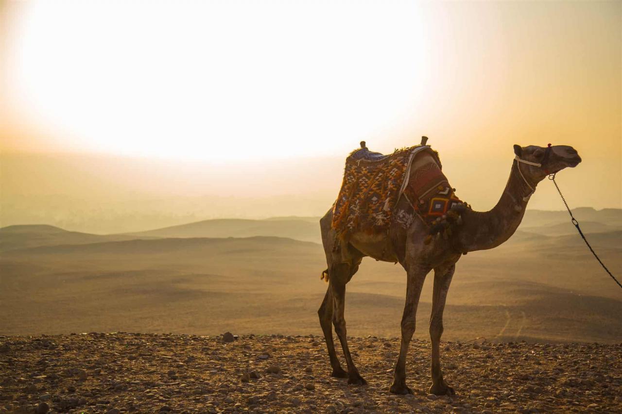 صورة تفسير حلم الابل , اوعي سفينه الصحراء