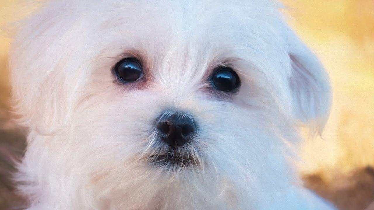 تفسير حلم الكلب الابيض تعرف علي تفسير رؤية الكلب الابيض في المنام احلى حلوات