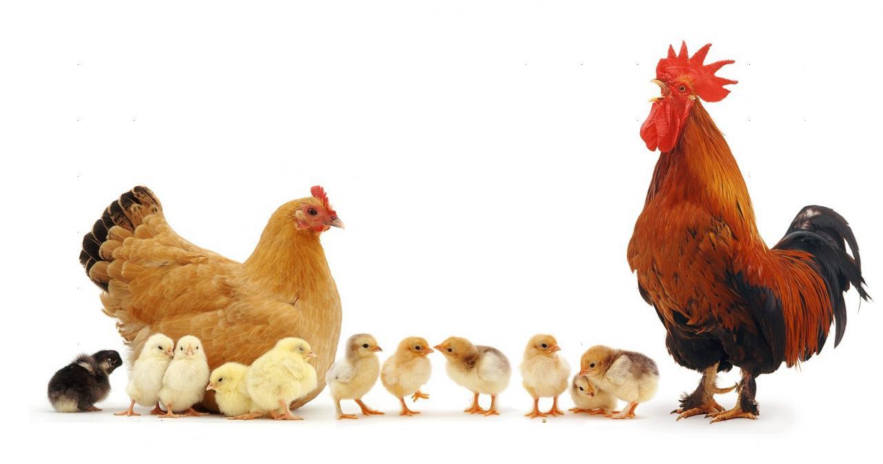 صور الدجاج في الحلم , تفسير رؤى الدواجن