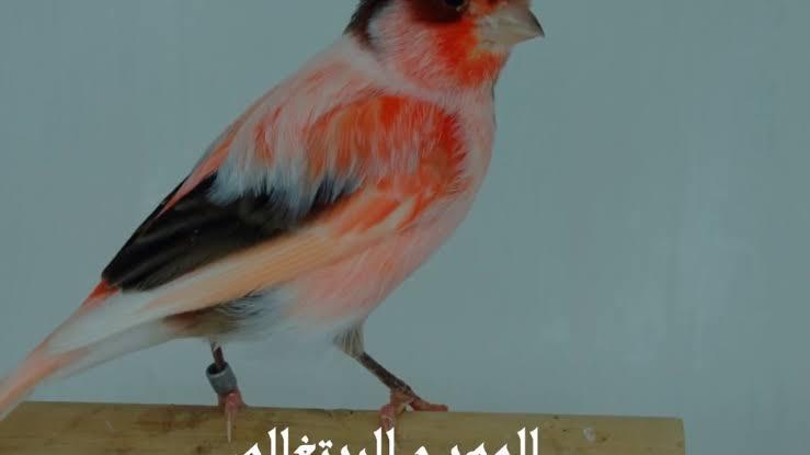 صورة اجمل عصافير الكناري , خلفيات عصافير الكناريا الجميله