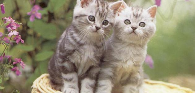 صورة معلومات عن القطط , اشهر المعلومات التي تريد ان تعرفها عن القطط
