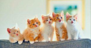 صورة كيفية التعامل مع القطط , تربية القطط الصغيره