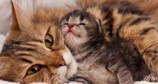 صورة كيف اعرف ان القطة حامل , تعرفي علي اعراض حمل قطتك