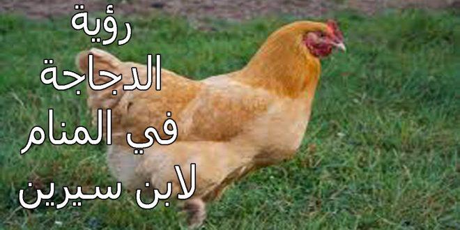 صورة الدجاجة في المنام , تفسير حلم رؤية الدجاجة