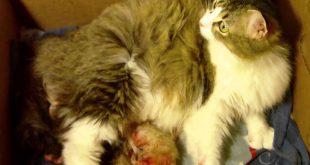 صورة تعرف علي علامات ولادة القطط ، علامات ولادة القطط